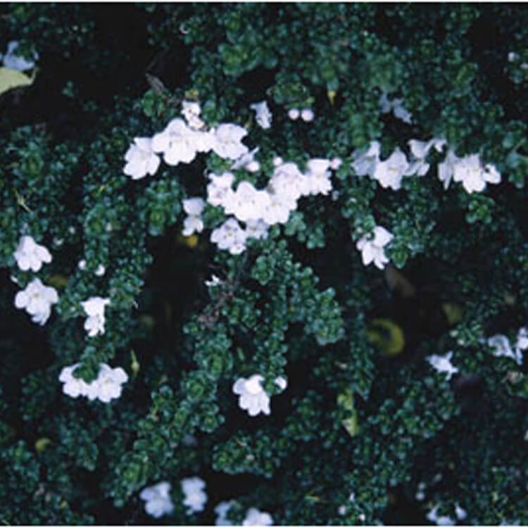 Prostanthera-cuneata.-Alpine-mint-bush.-RHS.jpg