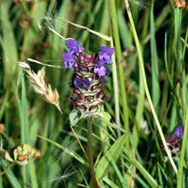 Prunella-vulgaris.-Selfheal.-RHS.jpg