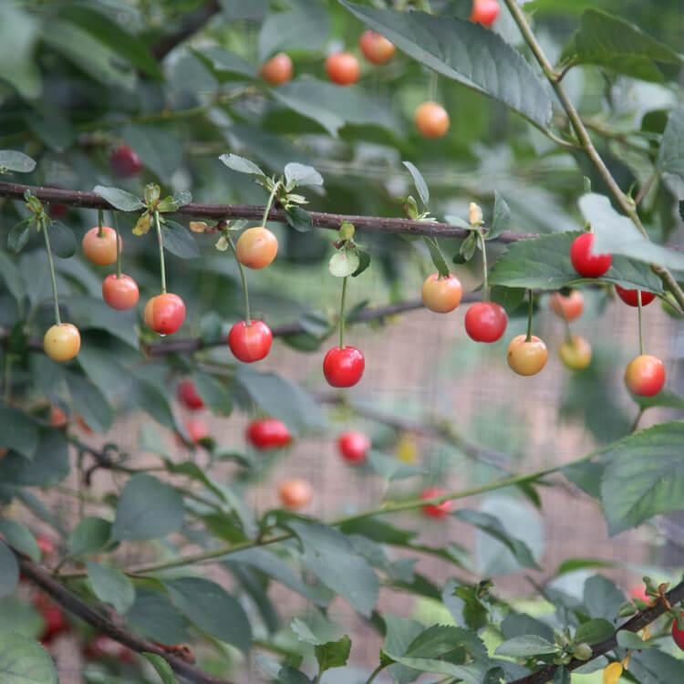 Prunus-avium.jpg