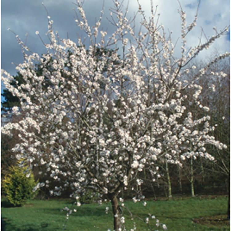 Prunus-dulcis.-Almond.-RHS.jpg