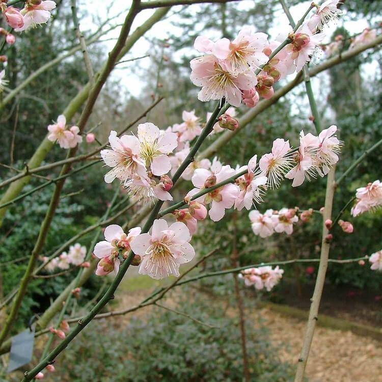 Prunus-mume.-Japanese-apricot.-RHS.jpg