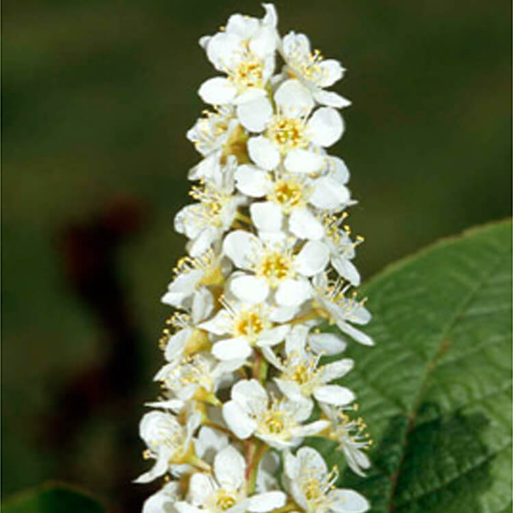 Prunus-padus.-Bird-cherry.-RHS.jpg
