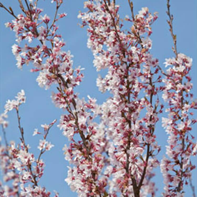Prunus-pendula-ascendens.jpg