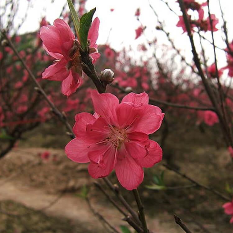Prunus-persica.-Peach.-Wikimedia-Commons.jpg