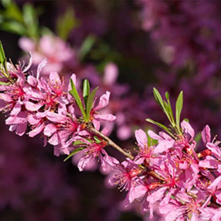 Prunus-tenella.-Dwarf-Russian-almond.-RHS.jpg