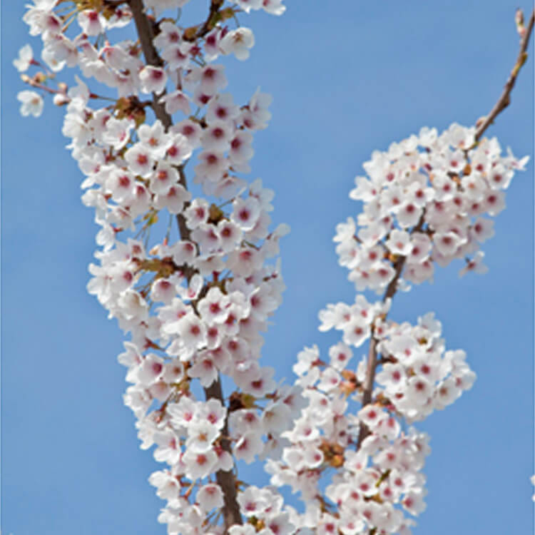 Prunus-x-yedoensis.-Flowering-cherry.-RHS.jpg