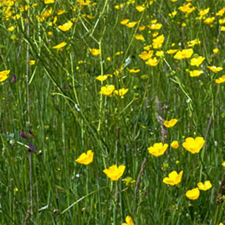 Ranunculus-acris.-Meadow-Buttercup.-RHS.jpg