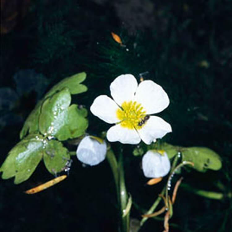Ranunculus-aquatilis.-Common-water-crowfoot.-RHS.jpg