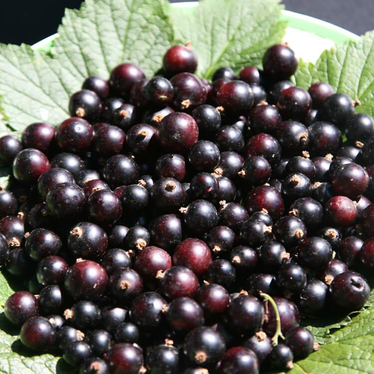 Ribes-nigrum.jpg
