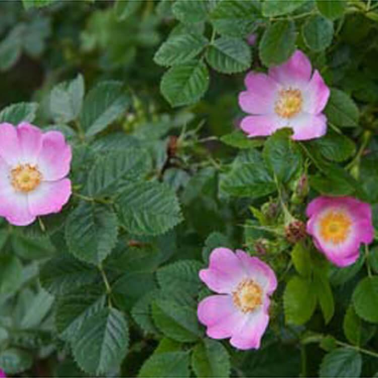 Rosa-rubiginosa.-Sweet-briar.-RHS.jpg