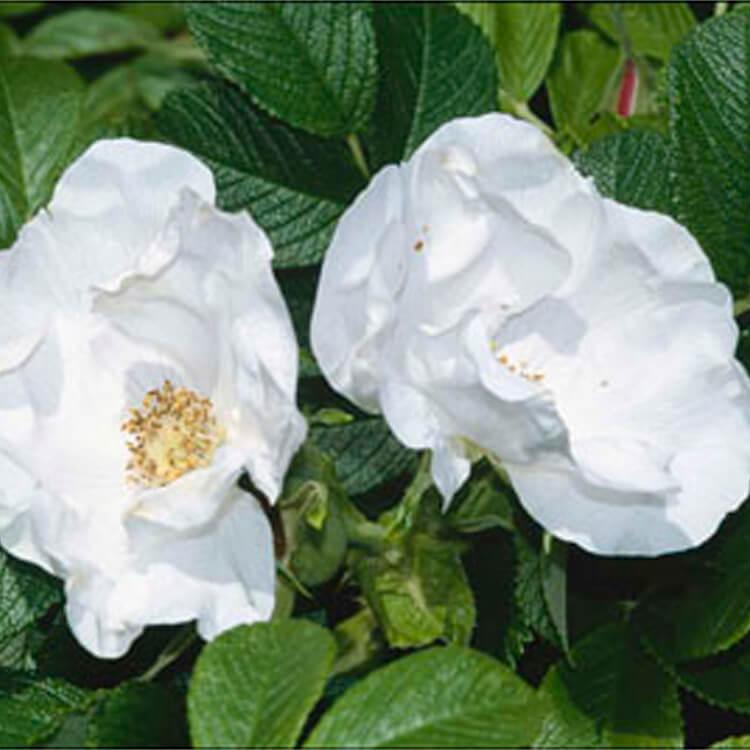 Rosa-rugosa.-Japanese-rose.-RHS.jpg