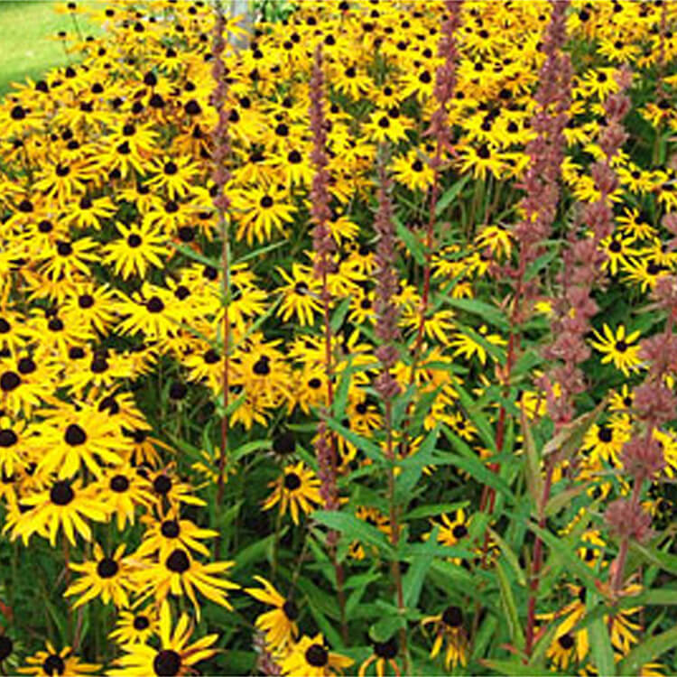 Rudbeckia-species.-Coneflower.-RHS.jpg