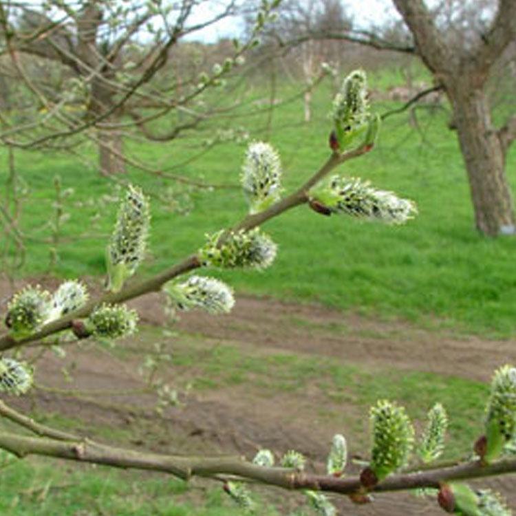 Salix-aegyptiaca.-Musk-willow.-RHS.jpg