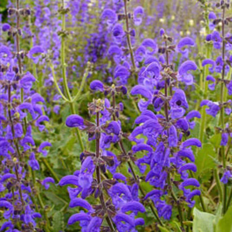 Salvia-pratensis.-Meadow-Clary.-RHS.jpg