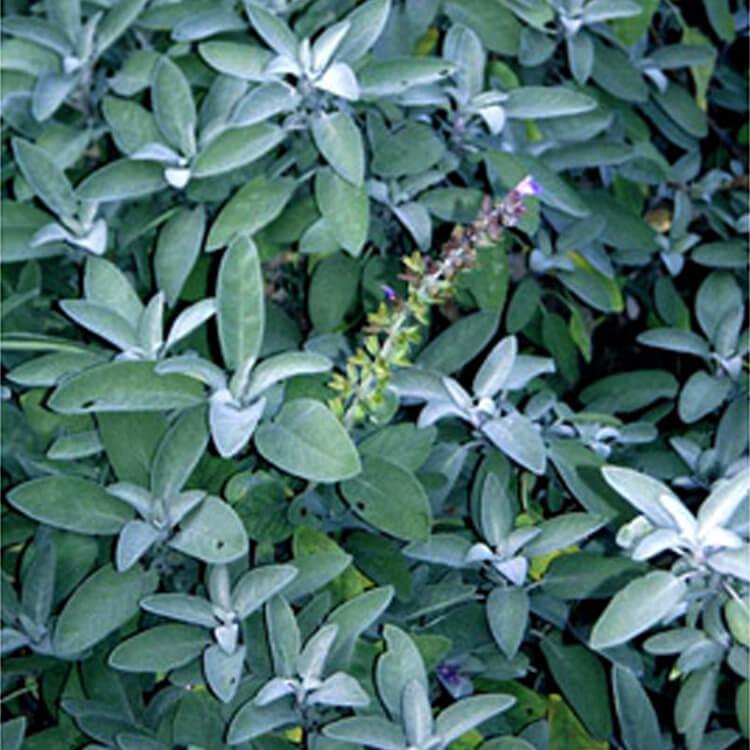 Salvia-species.-Sage.-RHS.jpg