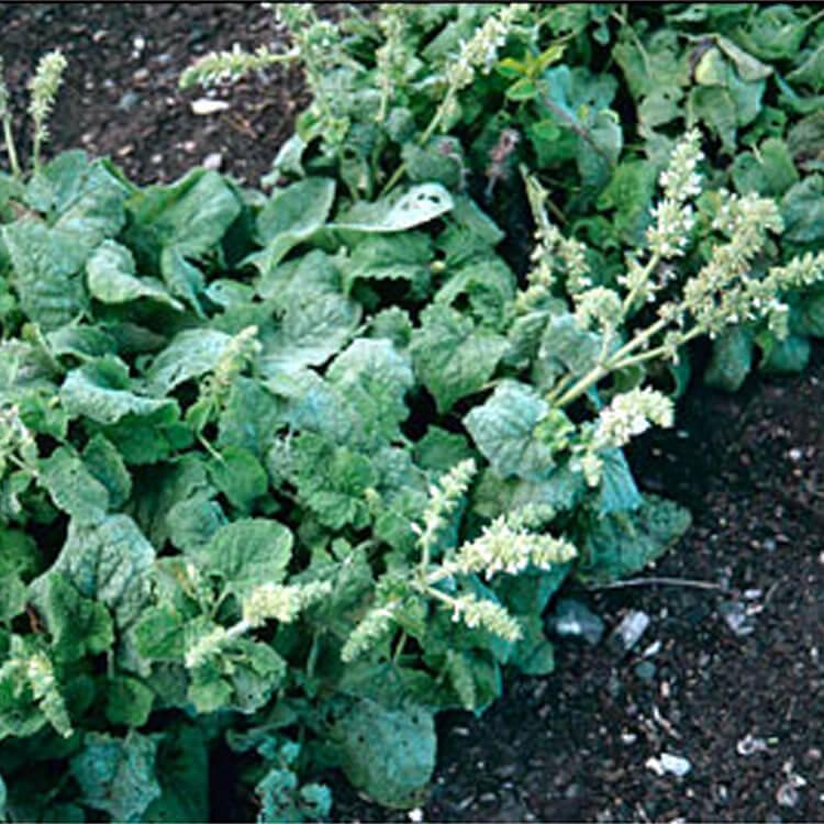 Salvia-verticillata.-Whorled-Clary.-RHS.jpg