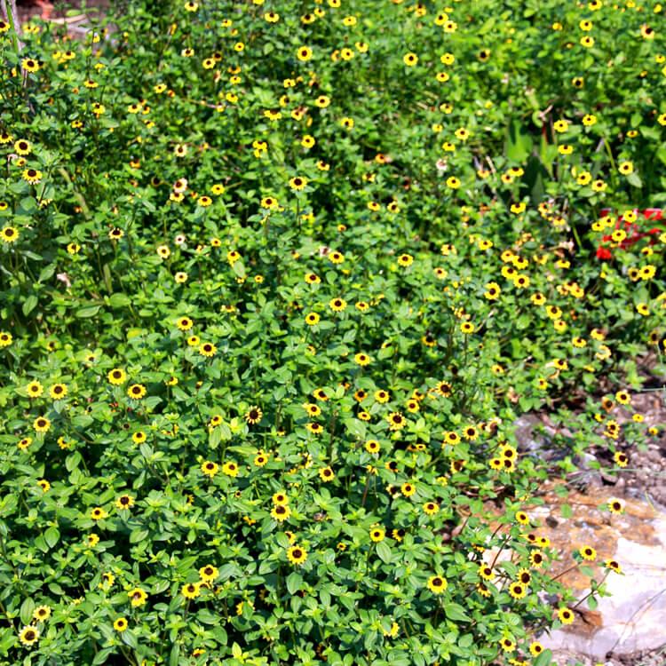 Sanvitalia-procumbens.-Creeping-zinnia.-Wikimedia-Commons.jpg