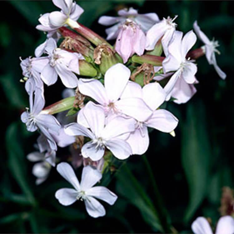 Saponaria-officinalis.-Soapwort.-RHS.jpg