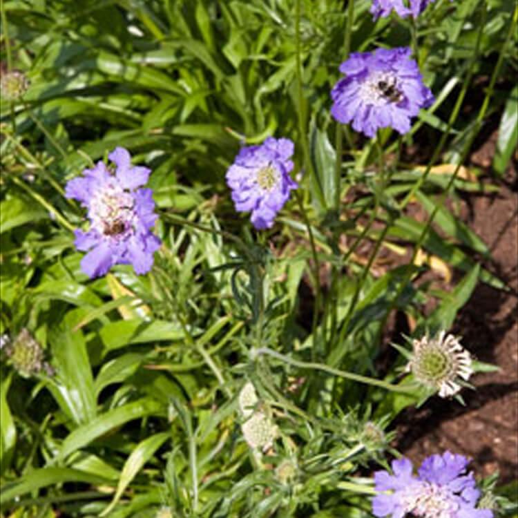 Scabiosa-caucasica.-Garden-scabious.-RHS.jpg