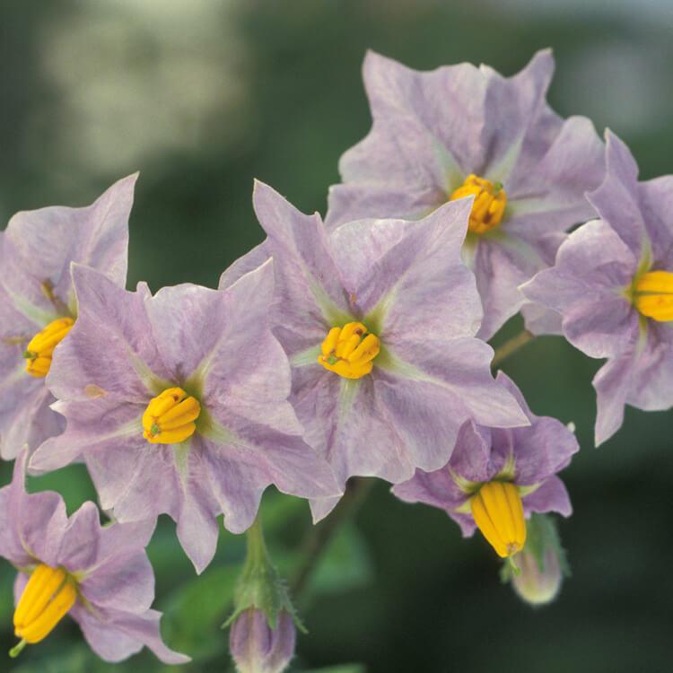 Solanum-tuberosum.-Potato.-Wikimedia-commons.jpg