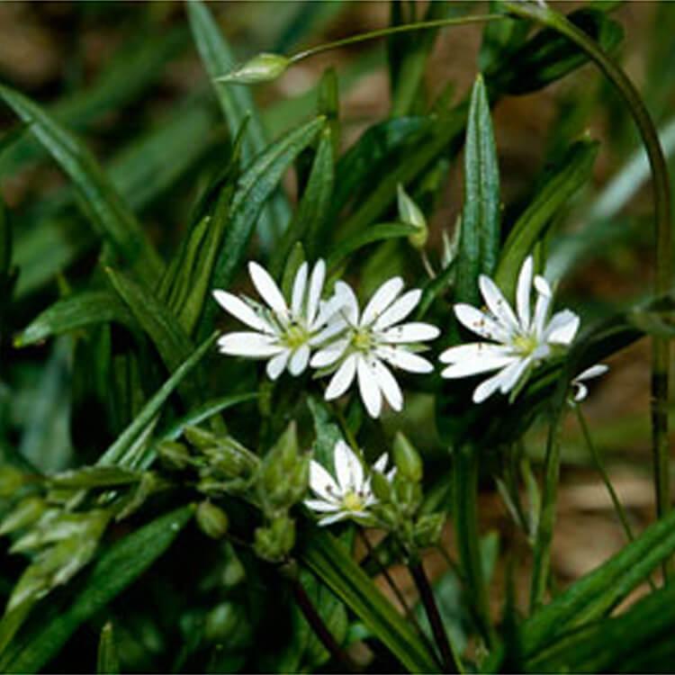 Stellaria-graminea.-Lesser-Stitchwort.-RHS.jpg