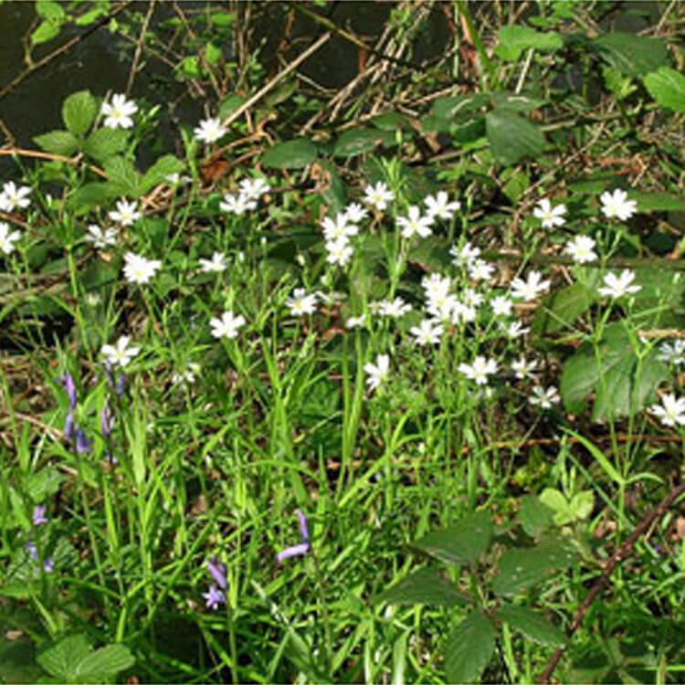 Stellaria-holostea.-Greater-Stitchwort.-RHS.jpg