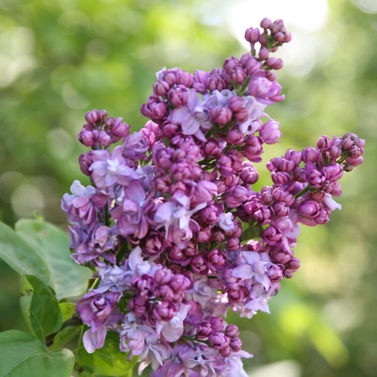 Syringa-species.jpg