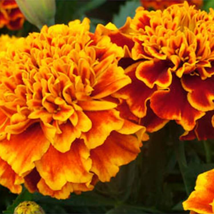 Tagetes-patula.-French-marigold.-RHS.jpg