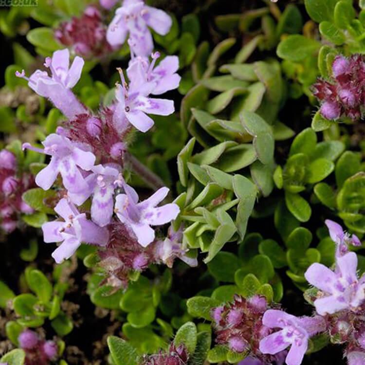 Thymus-species.-Thyme.-J.R.Crellin-floralimages.co.uk.jpg
