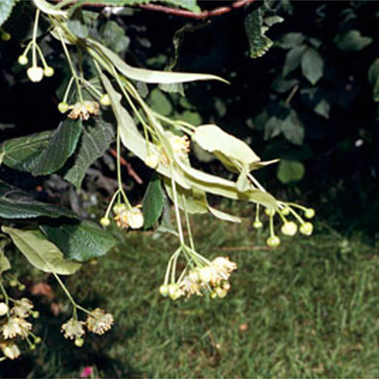 Tilia-platyphyllos.-Large-leaved-Lime.-RHS.jpg