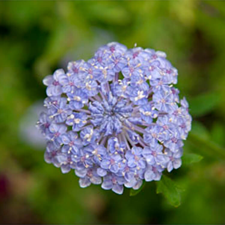 Trachymene-coerulea.-Blue-lace-flower.-RHS.jpg