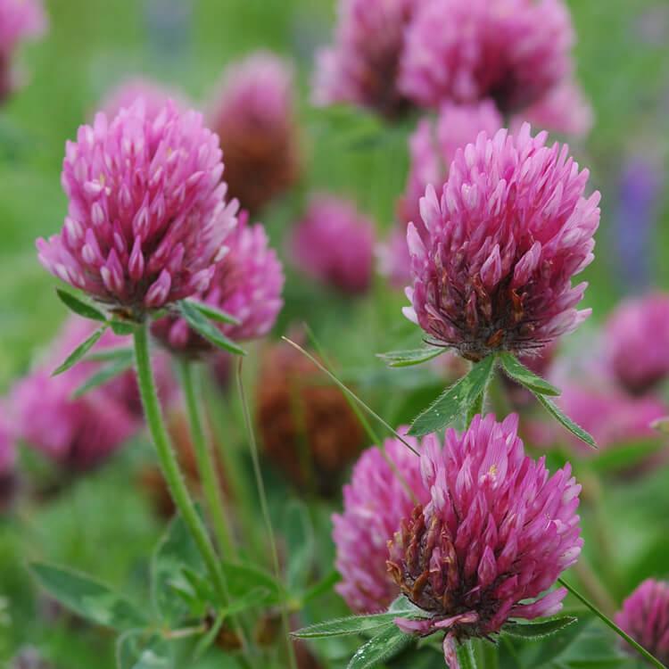 Trifolium-pratense.jpg