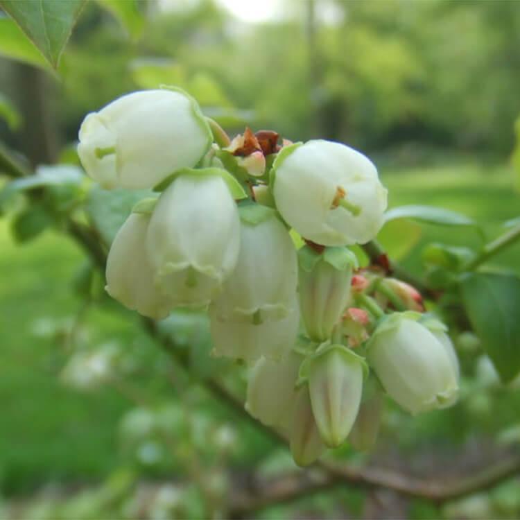 Vaccinium-corymbosum.-Blueberry.-Wikimedia-Commons.jpg