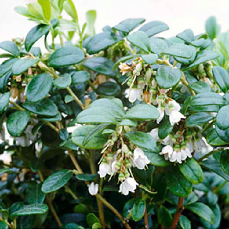 Vaccinium-vitis-idaea.-Cowberry.-RHS.jpg