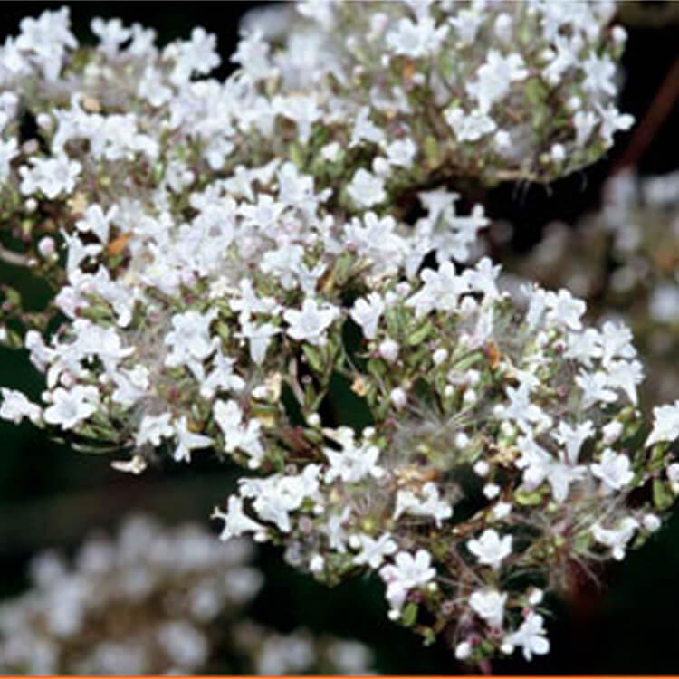 Valeriana-officinalis.-Common-valerian.-RHS.jpg