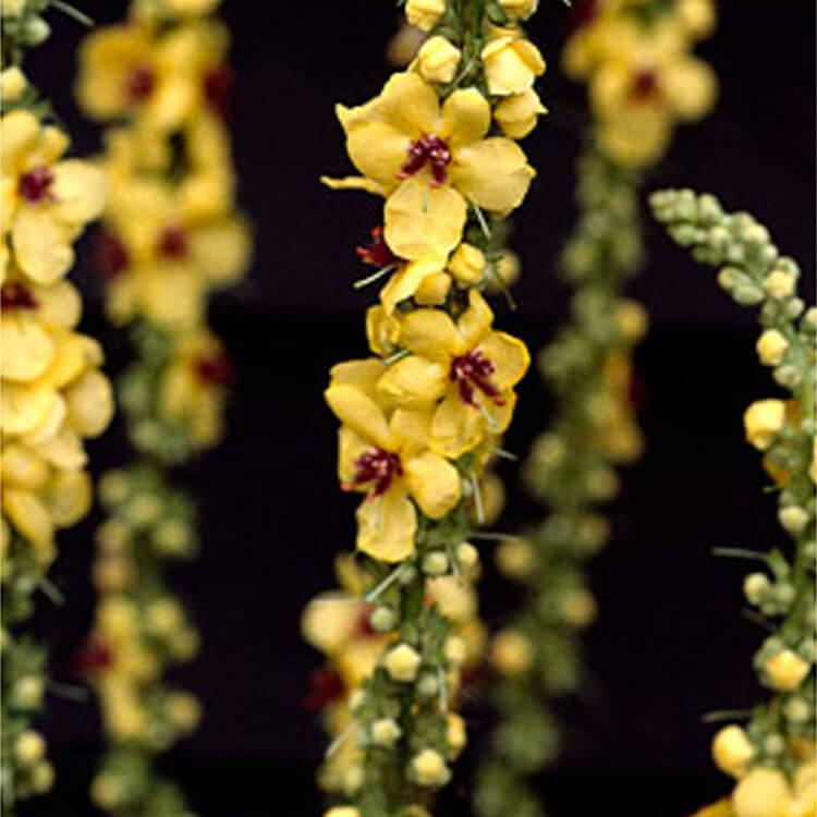 Verbascum-species.-Mullein-monster.-RHS.jpg