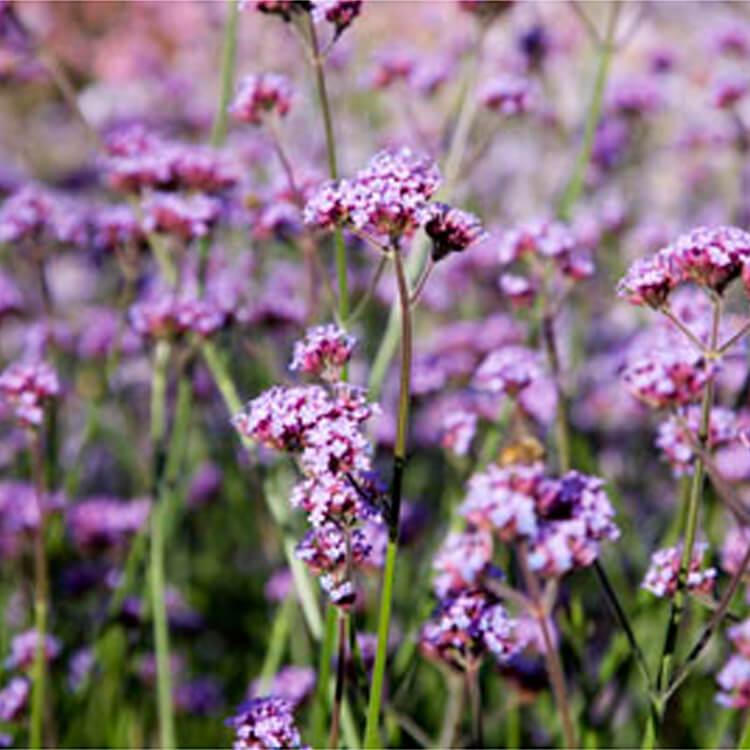 Verbena-bonariensis.-Purple-top.-RHS.jpg