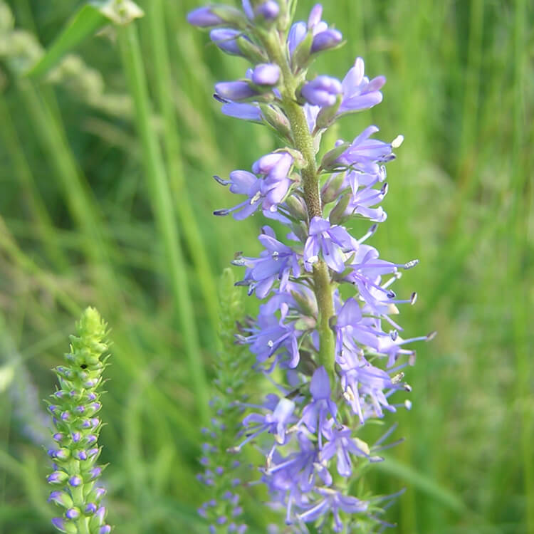 Veronica-longifolia.-Garden-speedwell.-Wikimedia-Commons.jpg