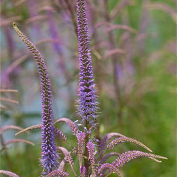 Veronicastrum-virginicum.-Culvers-root.-RHS.jpg