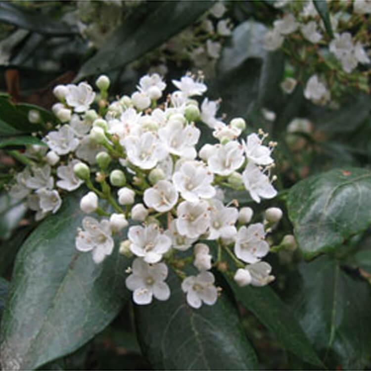 Viburnum-tinus.-Laurustinus.-RHS.jpg