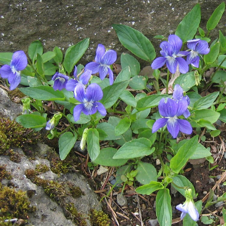 Viola-canina.-Heath-dog-violet.-Wikimedia-Commons.jpg