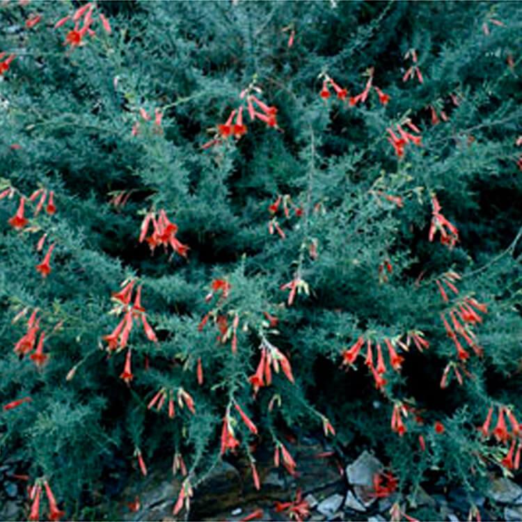Zauschneria-californica.-Californian-fuchsia.-RHS.jpg
