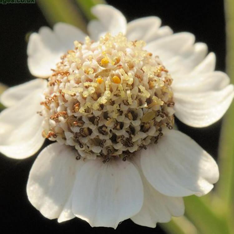 Achillea-ptarmica-Sneezewort-J.R.Crellin-Floralimages.co.uk.jpg