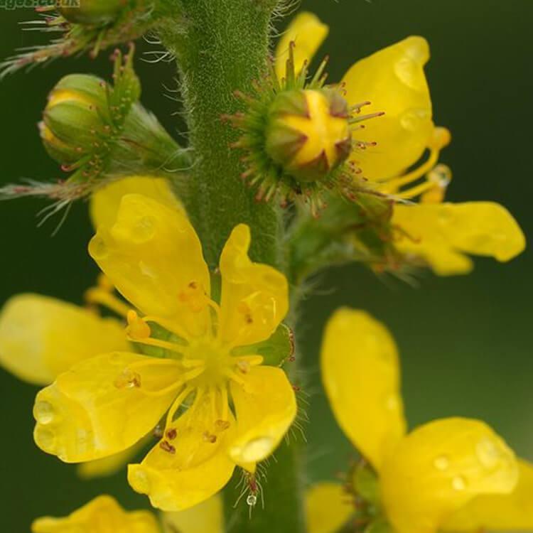 Agrimonia-eupatoria-Agrimony-J.R.Crellin-Floralimages.co.uk.jpg