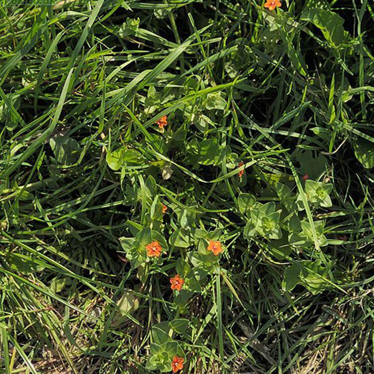 Anagallis-arvensis-ScarletPimpernel-J.R.Crellin-Floralimages.co.uk.jpg