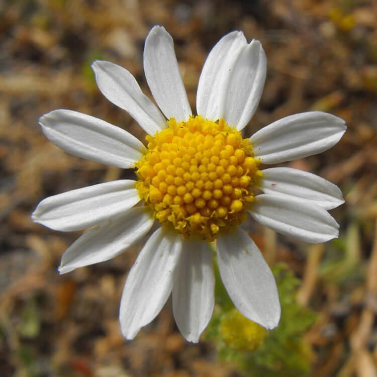 Anthemis-cotula-Stinking-Chamomile.-Wikimediacommons.jpg