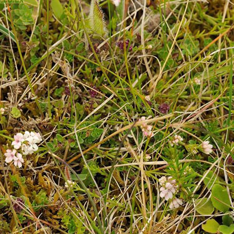 Asperula-cynanchica-Squinancywort-J.-R.-Crellin-Floralimages.co.uk.jpg