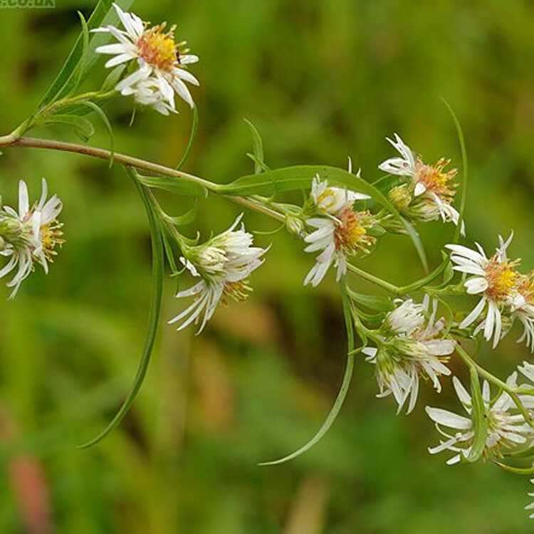 Aster-lanceolatus-Narrow-leaved-Michaelmas-daisy-J.-R.-Crellin-Floralimages.co.uk.jpg