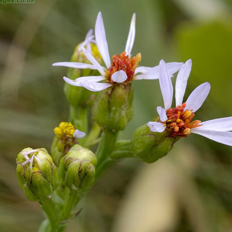 Aster-tripolium-Sea-Aster-J.-R.-Crellin-floralimages.co.uk.jpg