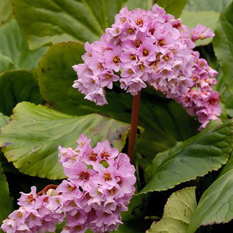 Bergenia-crassifolia-Elephant-ears-J.-R.-Crellin-floralimages.co.uk.jpg